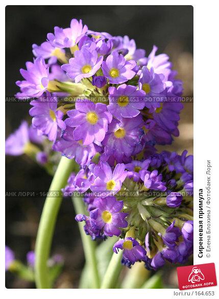 Сиреневая примула, фото № 164653, снято 28 апреля 2007 г. (c) Елена Блохина / Фотобанк Лори