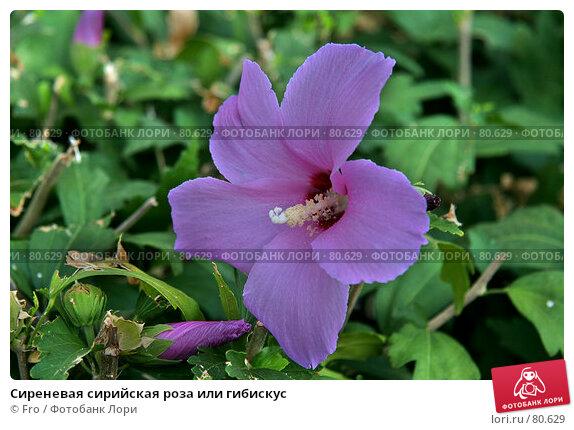 Сиреневая сирийская роза или гибискус, фото № 80629, снято 25 августа 2007 г. (c) Fro / Фотобанк Лори