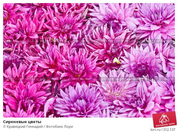 Сиреневые цветы, фото № 312137, снято 22 августа 2004 г. (c) Кравецкий Геннадий / Фотобанк Лори