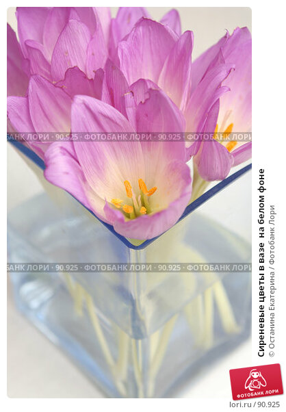 Купить «Сиреневые цветы в вазе  на белом фоне», фото № 90925, снято 17 сентября 2007 г. (c) Останина Екатерина / Фотобанк Лори