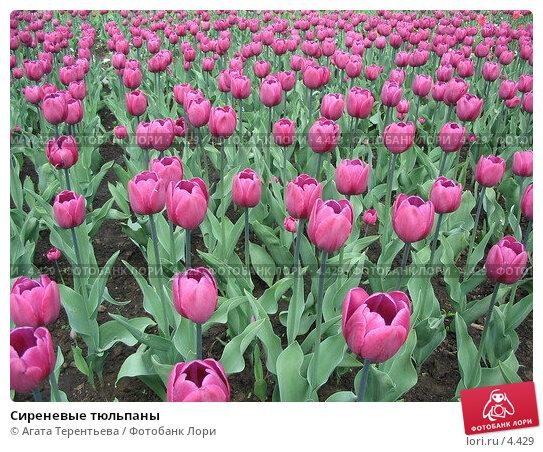 Сиреневые тюльпаны, фото № 4429, снято 21 мая 2006 г. (c) Агата Терентьева / Фотобанк Лори