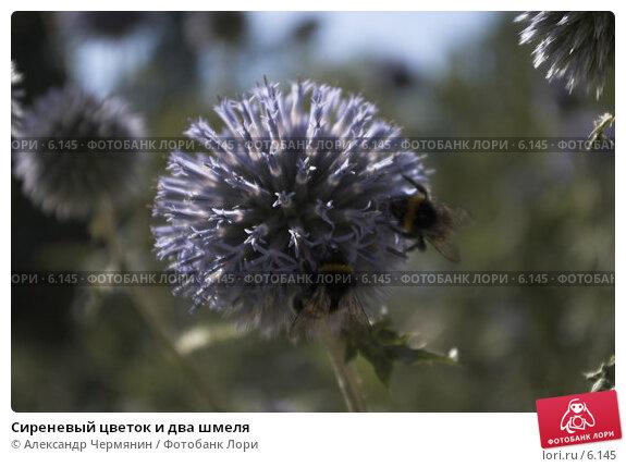 Сиреневый цветок и два шмеля, фото № 6145, снято 19 января 2017 г. (c) Александр Чермянин / Фотобанк Лори