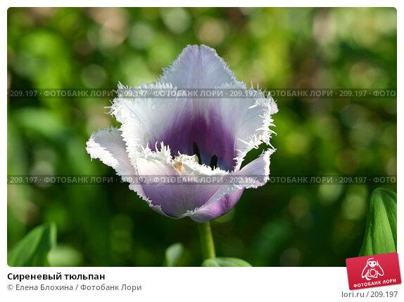 Сиреневый тюльпан, фото № 209197, снято 20 мая 2007 г. (c) Елена Блохина / Фотобанк Лори