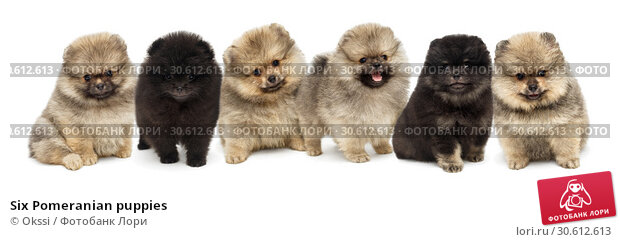Six Pomeranian puppies. Стоковое фото, фотограф Okssi / Фотобанк Лори