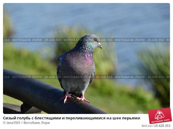 Купить «Сизый голубь с блестящими и переливающимися на шее перьями», эксклюзивное фото № 29428353, снято 16 октября 2018 г. (c) lana1501 / Фотобанк Лори