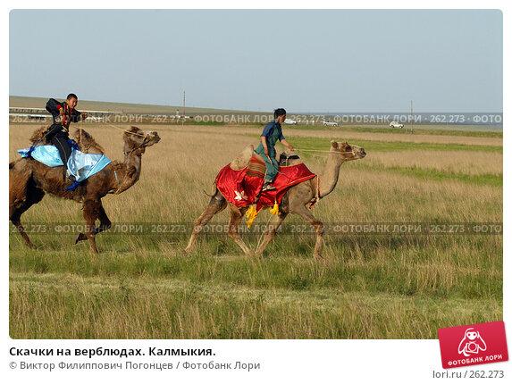 Скачки на верблюдах. Калмыкия., фото № 262273, снято 26 мая 2007 г. (c) Виктор Филиппович Погонцев / Фотобанк Лори