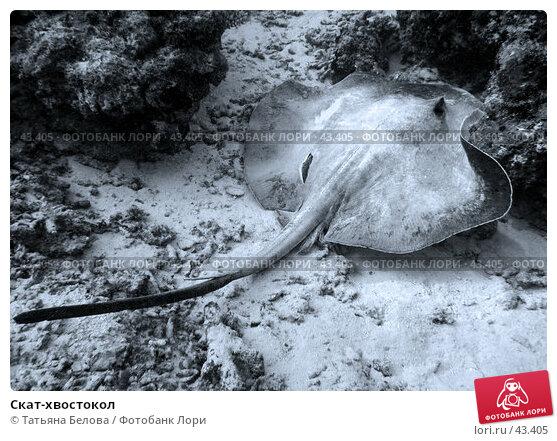 Скат-хвостокол, эксклюзивное фото № 43405, снято 21 ноября 2006 г. (c) Татьяна Белова / Фотобанк Лори