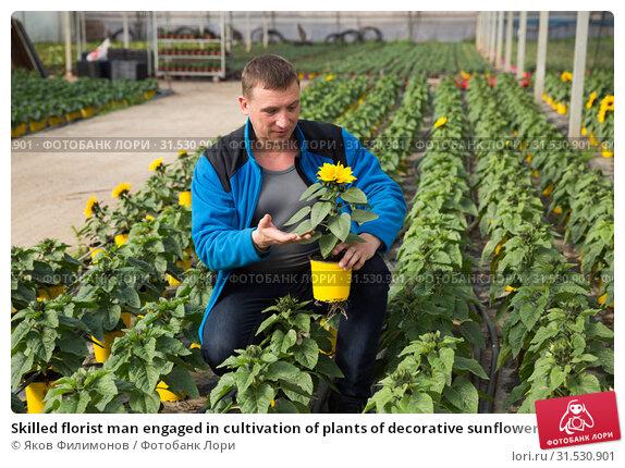 Купить «Skilled florist man engaged in cultivation of plants of decorative sunflower in greenhouse», фото № 31530901, снято 9 апреля 2019 г. (c) Яков Филимонов / Фотобанк Лори
