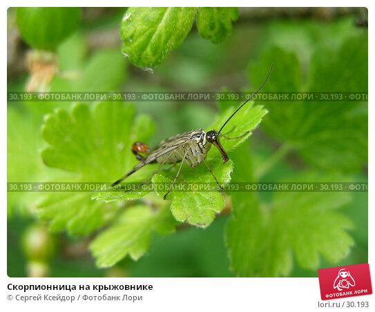 Скорпионница на крыжовнике, фото № 30193, снято 4 июня 2006 г. (c) Сергей Ксейдор / Фотобанк Лори