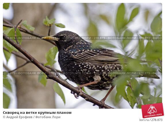 Скворец на ветке крупным планом, фото № 278873, снято 9 мая 2008 г. (c) Андрей Ерофеев / Фотобанк Лори