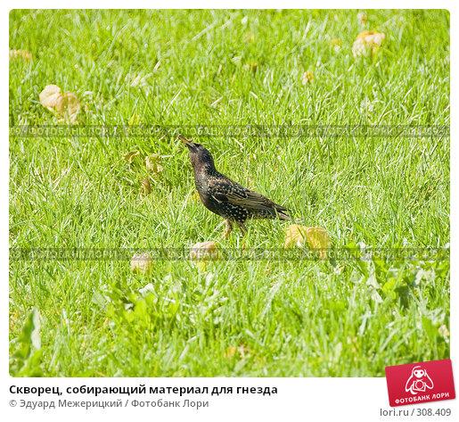 Скворец, собирающий материал для гнезда, фото № 308409, снято 12 мая 2008 г. (c) Эдуард Межерицкий / Фотобанк Лори