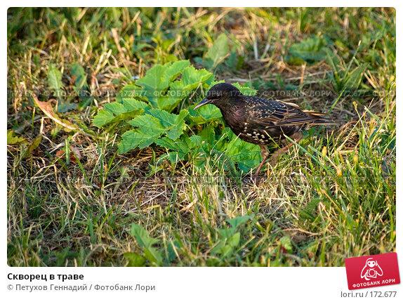 Скворец в траве, фото № 172677, снято 13 июля 2007 г. (c) Петухов Геннадий / Фотобанк Лори