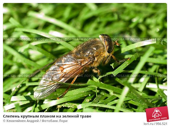 Купить «Слепень крупным планом на зеленой траве», фото № 956521, снято 14 июня 2009 г. (c) Кекяляйнен Андрей / Фотобанк Лори