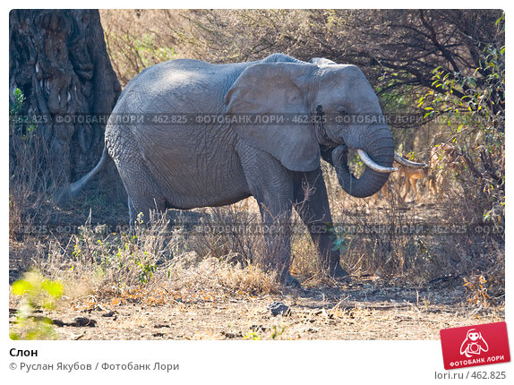 Купить «Слон», фото № 462825, снято 26 ноября 2006 г. (c) Руслан Якубов / Фотобанк Лори