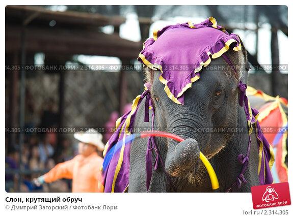 Слон, крутящий обруч. Стоковое фото, фотограф Дмитрий Загорский / Фотобанк Лори