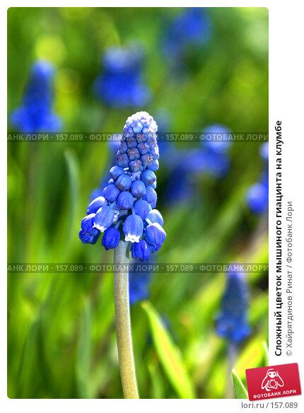 Купить «Сложный цветок мышиного гиацинта на клумбе», фото № 157089, снято 18 мая 2007 г. (c) Хайрятдинов Ринат / Фотобанк Лори