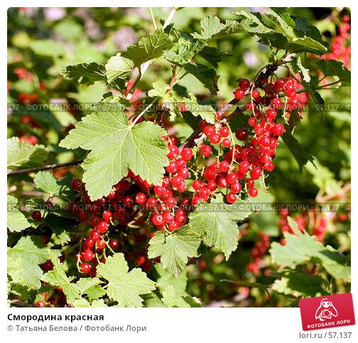Смородина красная, эксклюзивное фото № 57137, снято 27 июня 2007 г. (c) Татьяна Белова / Фотобанк Лори