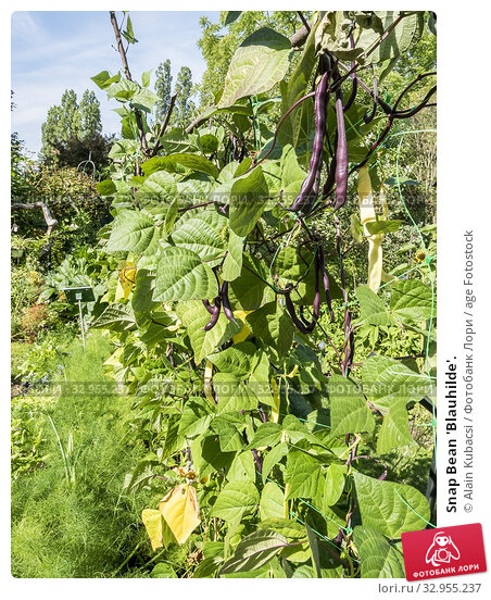 Snap Bean 'Blauhilde'. Стоковое фото, фотограф Alain Kubacsi / age Fotostock / Фотобанк Лори