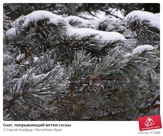 Снег, покрывающий ветки сосны, фото № 17065, снято 25 января 2007 г. (c) Сергей Ксейдор / Фотобанк Лори