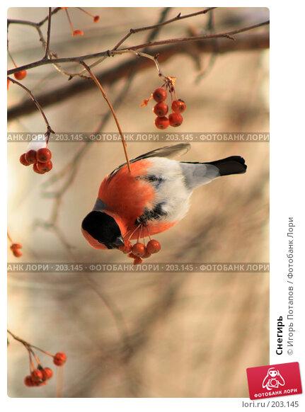 Купить «Снегирь», фото № 203145, снято 27 сентября 2006 г. (c) Игорь Потапов / Фотобанк Лори