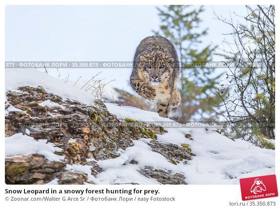 Snow Leopard in a snowy forest hunting for prey. Стоковое фото, фотограф Zoonar.com/Walter G Arce Sr / easy Fotostock / Фотобанк Лори