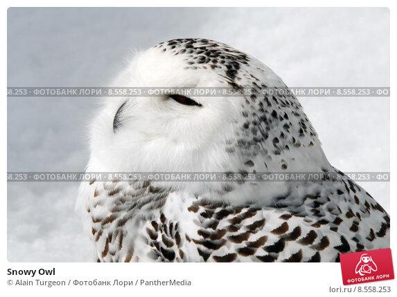 Купить «Snowy Owl», фото № 8558253, снято 25 марта 2019 г. (c) PantherMedia / Фотобанк Лори