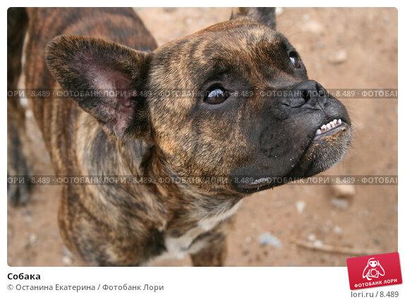 Купить «Собака», фото № 8489, снято 25 июля 2006 г. (c) Останина Екатерина / Фотобанк Лори