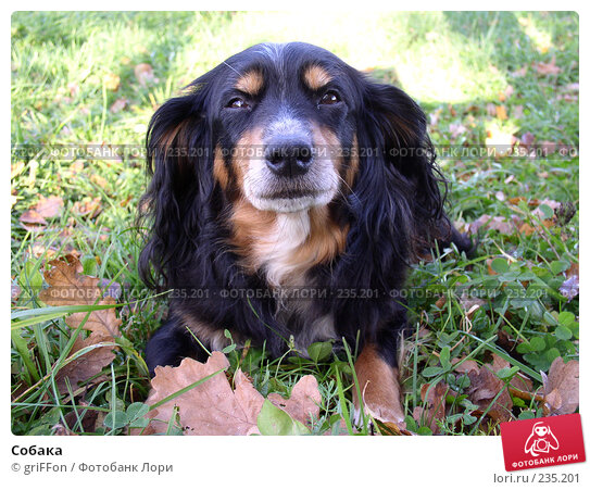 Купить «Собака», фото № 235201, снято 20 апреля 2018 г. (c) griFFon / Фотобанк Лори