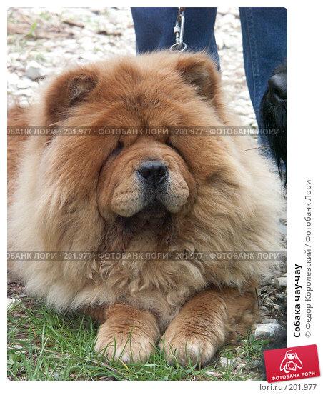 Собака чау-чау, фото № 201977, снято 25 апреля 2004 г. (c) Федор Королевский / Фотобанк Лори