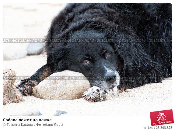 Купить «Собака лежит на пляже», фото № 23393573, снято 24 июля 2016 г. (c) Татьяна Кахилл / Фотобанк Лори