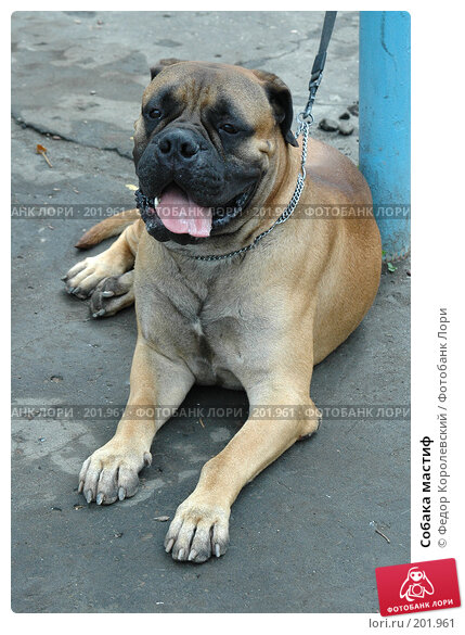 Собака мастиф, фото № 201961, снято 17 июля 2005 г. (c) Федор Королевский / Фотобанк Лори