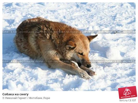 Купить «Собака на снегу», фото № 3137, снято 25 марта 2006 г. (c) Николай Гернет / Фотобанк Лори