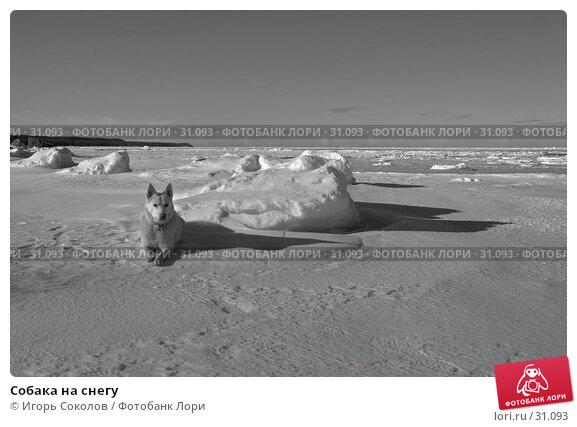 Купить «Собака на снегу», фото № 31093, снято 23 апреля 2018 г. (c) Игорь Соколов / Фотобанк Лори