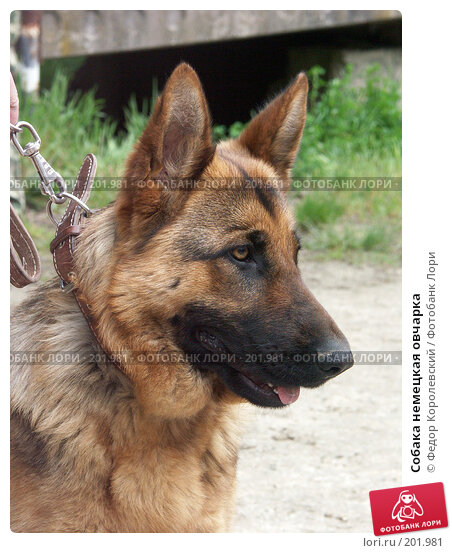 Собака немецкая овчарка, фото № 201981, снято 25 апреля 2004 г. (c) Федор Королевский / Фотобанк Лори