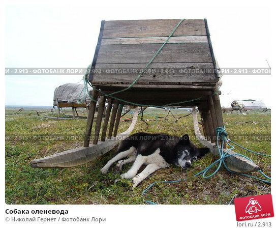 Собака оленевода, фото № 2913, снято 11 августа 2005 г. (c) Николай Гернет / Фотобанк Лори