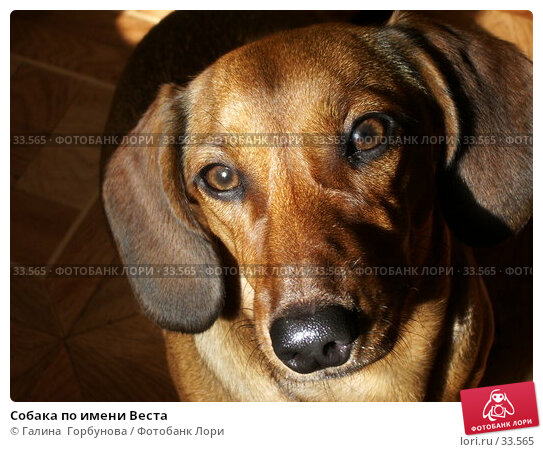Собака по имени Веста, фото № 33565, снято 24 июня 2004 г. (c) Галина  Горбунова / Фотобанк Лори