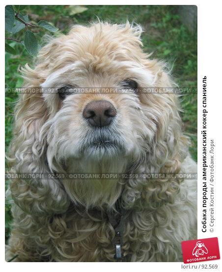 Купить «Собака породы американский кокер спаниель», фото № 92569, снято 24 сентября 2005 г. (c) Сергей Костин / Фотобанк Лори