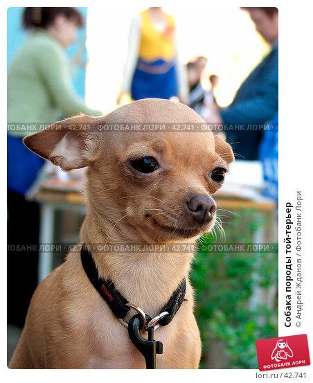 Собака породы той-терьер, фото № 42741, снято 25 марта 2017 г. (c) Андрей Жданов / Фотобанк Лори
