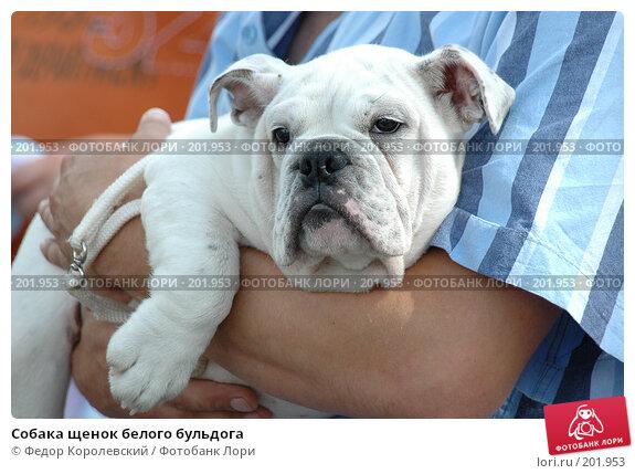 Купить «Собака щенок белого бульдога», фото № 201953, снято 17 июля 2005 г. (c) Федор Королевский / Фотобанк Лори