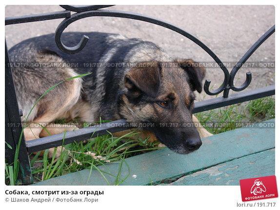 Купить «Собака, смотрит из-за ограды», фото № 191717, снято 15 августа 2006 г. (c) Шахов Андрей / Фотобанк Лори