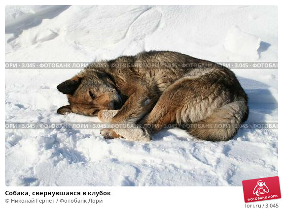 Собака, свернувшаяся в клубок, фото № 3045, снято 24 марта 2006 г. (c) Николай Гернет / Фотобанк Лори