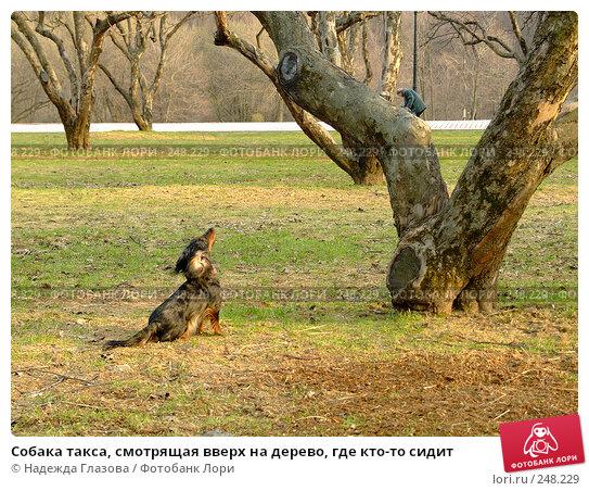 Собака такса, смотрящая вверх на дерево, где кто-то сидит, фото № 248229, снято 6 апреля 2008 г. (c) Надежда Глазова / Фотобанк Лори