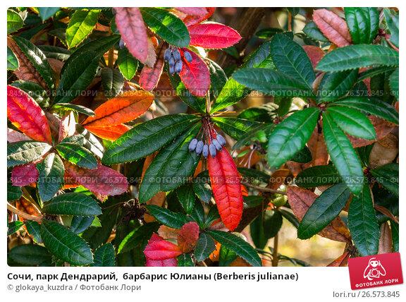 Купить «Сочи, парк Дендрарий,  барбарис Юлианы (Berberis julianae)», фото № 26573845, снято 23 марта 2019 г. (c) glokaya_kuzdra / Фотобанк Лори