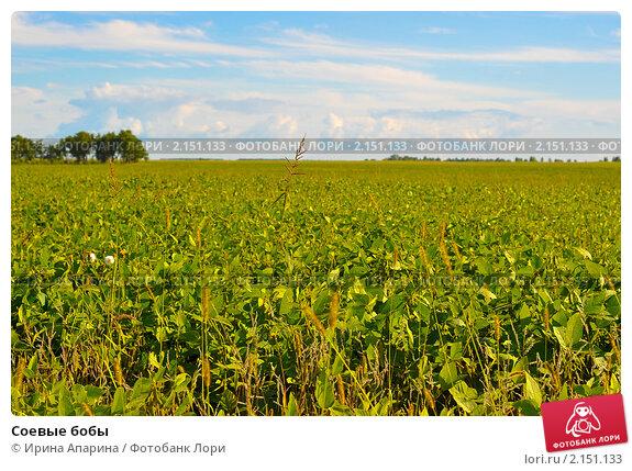 Купить «Соевые бобы», фото № 2151133, снято 22 августа 2010 г. (c) Ирина Апарина / Фотобанк Лори