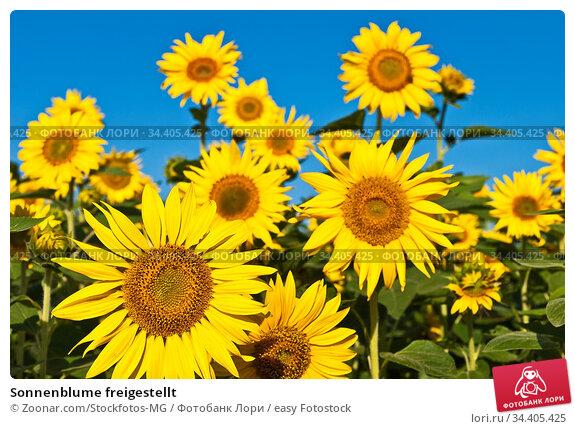 Sonnenblume freigestellt. Стоковое фото, фотограф Zoonar.com/Stockfotos-MG / easy Fotostock / Фотобанк Лори
