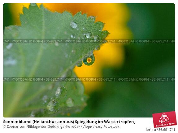 Sonnenblume (Helianthus annuus) Spiegelung im Wassertropfen, Стоковое фото, фотограф Zoonar.com/Bildagentur Geduldig / easy Fotostock / Фотобанк Лори