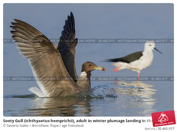 Sooty Gull (Ichthyaetus hemprichii), adult in winter plumage landing in the water. Стоковое фото, фотограф Saverio Gatto / age Fotostock / Фотобанк Лори