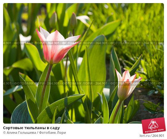 Сортовые тюльпаны в саду, эксклюзивное фото № 264901, снято 27 апреля 2008 г. (c) Алина Голышева / Фотобанк Лори