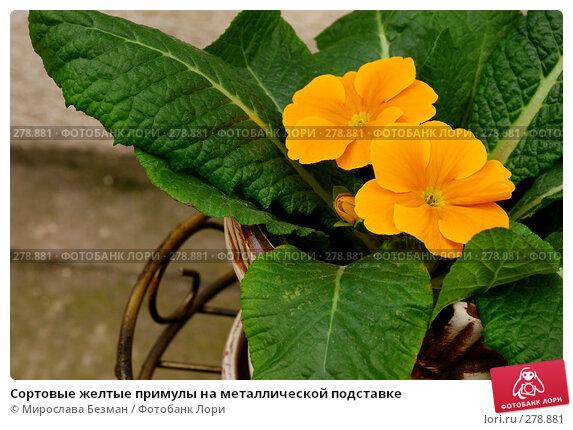 Сортовые желтые примулы на металлической подставке, фото № 278881, снято 16 марта 2008 г. (c) Мирослава Безман / Фотобанк Лори