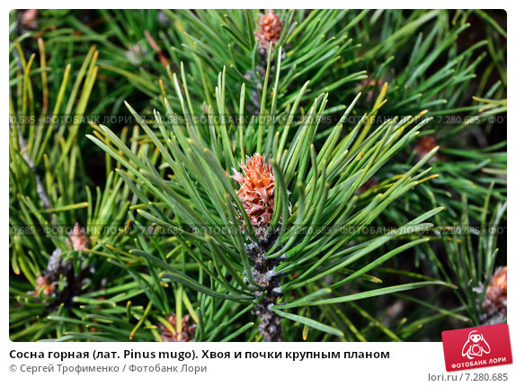 Купить «Сосна горная (лат. Pinus mugo). Хвоя и почки крупным планом», фото № 7280685, снято 4 апреля 2015 г. (c) Сергей Трофименко / Фотобанк Лори